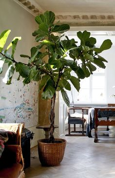 fiolfikus ur boken home stories av ida magntorn Interior Plants, Interior Exterior, Indoor Trees, Indoor Plants, Fiddle Leaf Fig, Large Plants, Ficus, Green Life, Plant Decor