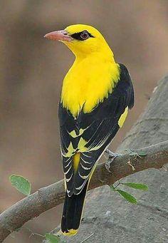 Prachtige vogel.Wielewaal.