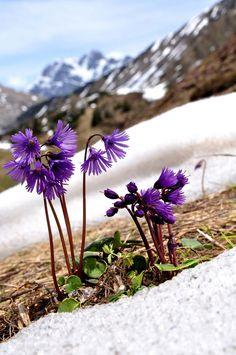 SOLDANELLA ALPINA (Soldanella alpina. Gewöhnliches Alpenglöckchen. Soldanelle…