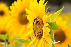 Sun Flower, Yellow, Flower