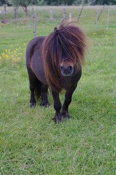 Shetland Pony stallion Uranus du Mury-Marais