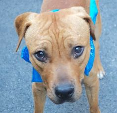 """PRINCE2_A1077665...a 7 month old puppy """" that attacks people """" ....  ***  *** KILLED BY NEW YORK CITY ANIMAL """"CARE"""" AND CONTROL , JULY 2016 ***☠***"""