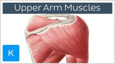 Anatomy Of The Shoulder Muscles Shoulder Muscles Anatomy Anatomy Human Body - Human Anatomy Diagram Shoulder Muscle Anatomy, Shoulder Muscles, Human Body Anatomy, Human Anatomy And Physiology, Supraspinatus Muscle, Axillary Nerve, Deltoid Workout, Anatomy Images, Crunches