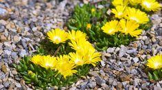 Delospermy obľubujú priepustný substrát Plants, Plant, Planets