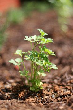 italian flat leaf parsley plant - Bing Images