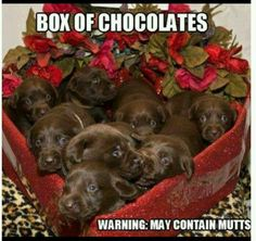 cute puppy pictures chocolate labs Valentine's Day surprise puppies pet photo meme funny humor ha lol 12 to a box dogs Chocolate Labs, Chocolate Lab Puppies, Chocolate Funny, Chocolate Quotes, Chocolate Kisses, Swiss Chocolate, Chocolate Covered, Cute Puppies, Cute Dogs
