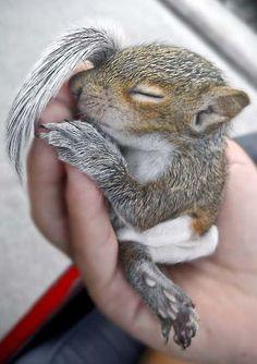 Un Bébé Ecureuil Endormi .... Absolument Craquant