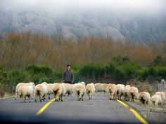Sheep herding on the road between Futaleufu and the Argentine border by Pachi Latorre   from Pinterest http://www.pinterest.com/pin/4925880814823106/
