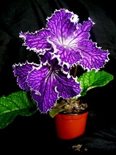 Streptocarpus 'Heart of Kai'