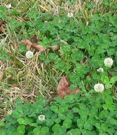 The Lawn Less Mown Clover enriches soil by absorbing nitrogen better than other plants like grass. In addition to the bees and butterflies, clover attracts parasitoid wasps, which lay their eggs on pest species such as aphids, scales, and whiteflies-they don't bother humans or their pets.  Having a variety of plants in your lawn along with the grasses will increase the diversity of insects and their predators, and this will help keep insect populations under control.