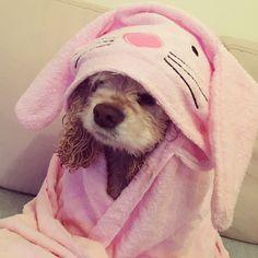 Bath time bunny #DJ #americancockerspaniel #cockerspaniel #cocker #spaniel #cute #dog #DJBilham
