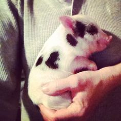 Charming Mini Pigs - Mini pigs for sale in many sizes Mini Pig Breeders
