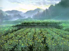 chrysanthemum fields