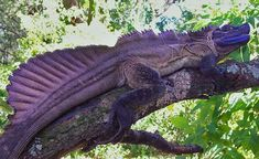 Purple Dragon from Mars : The Philippine Sailfin Dragon (Hydrosaurus pustulatus) the ultra rare Dragon lizard sometimes come in magenta or indigo color. Les Reptiles, Cute Reptiles, Reptiles And Amphibians, Mammals, Unusual Animals, Rare Animals, Beautiful Creatures, Animals Beautiful, Paludarium