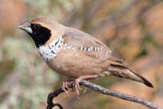 Pictorella Finch (Heteromunia pectoralis)