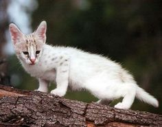 White Serval... When my life is completely stable and I have a house I want one.  I would name my serval Shiro, which means white in Japanese.