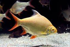 Tinfoil Barb (Fresh water fish)