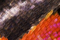Rhetus Dysoni butterfly wing