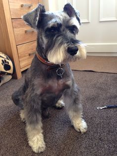 Alfie | A community of Schnauzer lovers!