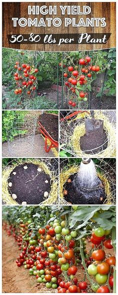 Are All You Need to Grow Lbs of Tomatoes Per Plant in Your Garden! These Tips Are All You Need to Grow Lbs of Tomatoes Per Plant in Your Garden!These Tips Are All You Need to Grow Lbs of Tomatoes Per Plant in Your Garden! Hydroponic Gardening, Hydroponics, Organic Gardening, Container Gardening, Gardening Tips, Aquaponics Fish, Gardening Books, Veg Garden, Tomato Garden
