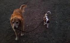 Daily Cute: Dog Walks Dog?