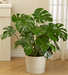 Philodendron Monstera is a nice plant for the house