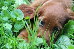 Irish setter puppy 8 weeks