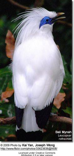 Bali Starling or Bali Mynah - Endangered