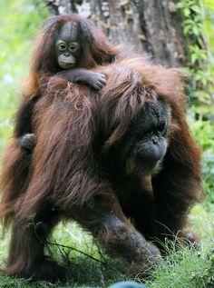 Kindly adult female orangutan adopts a little orphan.