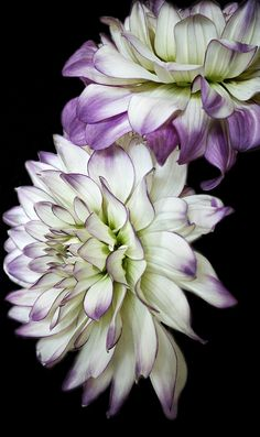 Lovely purple and white dahlias!
