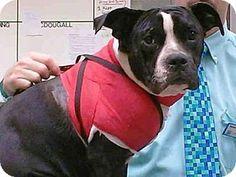 Atlanta, GA - American Pit Bull Terrier. Meet ROXIE, a dog for adoption. http://www.adoptapet.com/pet/12633150-atlanta-georgia-american-pit-bull-terrier