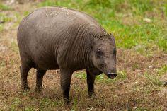 Gratis bild på Pixabay - Djur, Vildsvin, Däggdjur, Natur