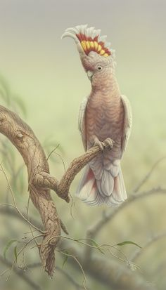 """""""Major Mitchell's Cockatoo"""" - artwork by Christopher Pope - now available as fine art reproductions - http://www.artreproductions.com.au/gallery.php?artid=2860"""