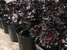 Aeonium 'Blackrose'