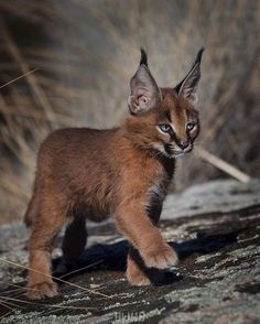 The Wild Caracal Kitten! 🐱 Caracals are truly stunning animals with so much natural beauty and majestic eloquence! Curious facts: The Caracal is native to many places around the world such as Africa. Baby Caracal, Caracal Kittens, Cats And Kittens, Beautiful Cats, Animals Beautiful, Cute Baby Animals, Funny Animals, Baby Exotic Animals, Baby Wild Animals
