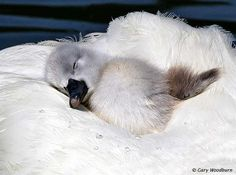 mute swan cygnet (photo by gary woodburn)