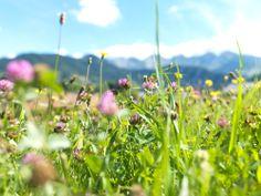 Von Mai bis Oktober grasen die Kühe auf diesen Wiesen voller Bergkräuter und -Gräser - Wenn das kein Leben ist!