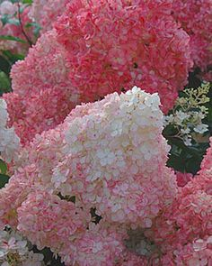 Vanilla Strawberry Hydrangea Hydrangea paniculata 'Renhy' (PPAF) Mature size H Plant in full sun Will bloom years after planting Vanilla Strawberry Hydrangea, Hydrangea Macrophylla, Flower Beds, Dream Garden, Lawn And Garden, Garden Fun, Garden Inspiration, Beautiful Gardens, Garden Plants
