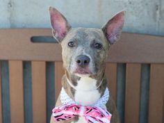 RETURNED!! Brooklyn Center LOVELY – A1059986 ***RETURNED 04/22/16*** SPAYED FEMALE, BR BRINDLE, AM PIT BULL TER MIX, 6 yrs OWNER SUR – EVALUATE, HOLD RELEASED Reason PERS PROB Intake condition EXAM REQ Intake Date 04/22/2016, From NY 11213, DueOut Date 04/22/2016,