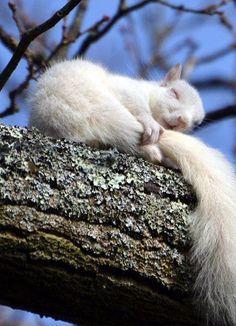 raindropsonroses-65:  Boa noite. zzzzzz  Squirrels of Oshawa, (for those who love them)