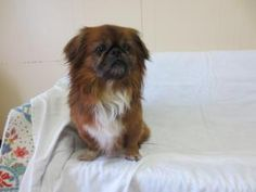 Kerri is an #adoptable Pekingese Dog in #Altoona, #PENNSYLVANIA. Hi my name is Kerri and I am a 8 year old Pekingese. I am a very sweet dog looking for a fur-ever home! My owner had to surrender me because I was j...