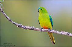 https://www.google.com.au/search?q=parrot