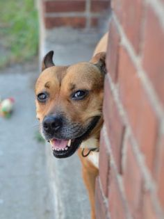 My name is CINDY. My Animal ID # is A1030991.  I am a female brown and white pit bull and germ shepherd mix. The shelter thinks I am about 4 YEARS old.  I came in the shelter as a STRAY on 03/22/2015 from NY 11216, owner surrender reason stated was STRAY.