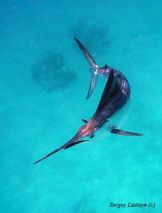 Marlin   # Pin++ for Pinterest #