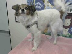 6-3-17 Lancaster CA - #A5054611 My name is Pierre and I'm a 10 year old male chihuahua lh. I am not yet neutered. I have been at the Lancaster Animal Care Center since April 27, 2017. I am available on May 1, 2017. You can visit me at my temporary home at L307 pledges! > https://www.facebook.com/notes/friends-of-lancaster-shelter-dogs-ca/pledge-policy/1952433748326298/ Lancaster Animal Care Center 5210 West Avenue I, Lancaster, CA 93536 (661) 940-4191