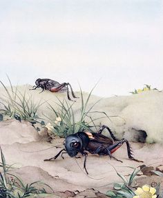 """The Field Cricket. Illustration by Edward J. Detmold from """"Fabre's Book of Insects"""", 1921"""