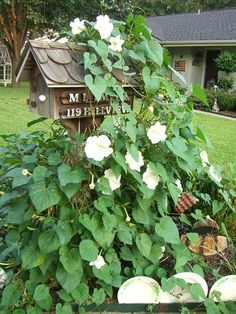 Moonflower (like a giant morning glory, only blooms in the pm with a sweet fragrance)