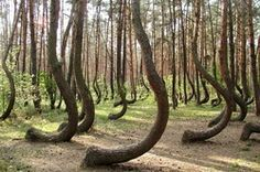 A pine forest planned in the late 30's in Poland - nobody knows why they grow like they do!