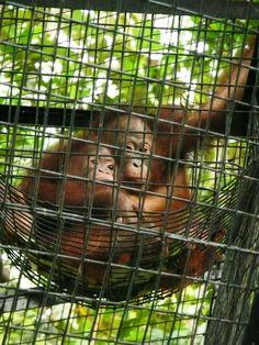 List Of Animals, Baby Animals, Baby Orangutan, Mountain Gorilla, Cute Monkey, Animal Species, Monkey Business, Extinct, Primates