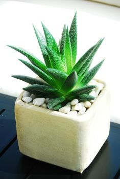 Aloe Gasteria is a rare Aloe-like succulent native to South Africa. A great decorative accent, these plants are the perfect addition to any table or desk.  http://www.plantdecor.ca/Aloe-Gasteria.html